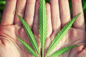 Green leaf of a  canabis