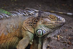 Tropical Iguana Lizard