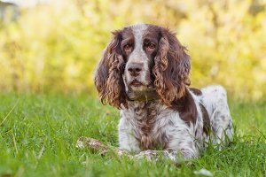 Brown spotted russian spaniel