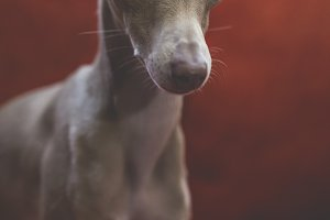 Italian greyhound dog on the sofa