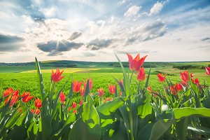 Green fields and tulip