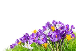 Crocus flowers in grass isolated