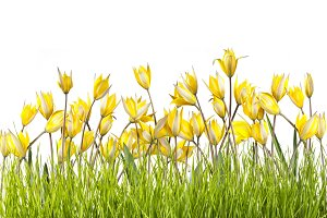 Tulip flowers in grass isolated