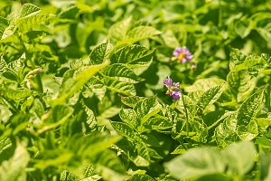 Green blooming potato plant