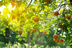 Branches with orange fruits.