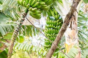 Banana tree with a bunch of bananas.