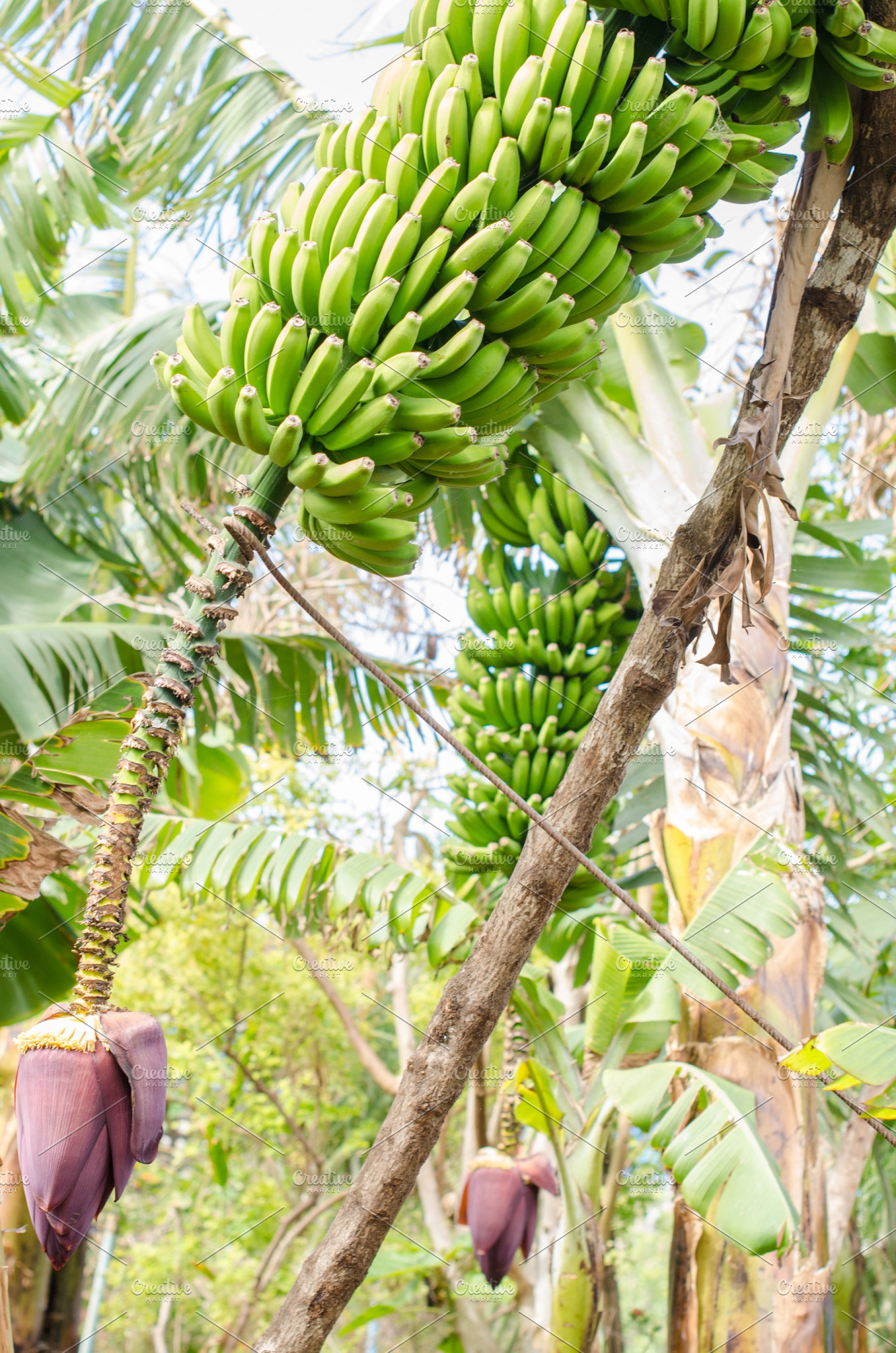 Banana tree with a bunch of bananas. | High-Quality Nature ...