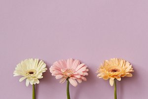 Composition from three gerberas on a pink paper background