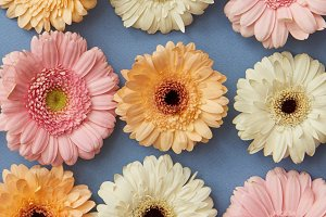 A pattern of white pink and orange gerberas on a blue paper background.