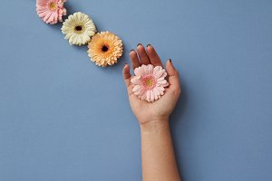 A composition of gerberas, a girl's hand holds a pink flower on a blue background.