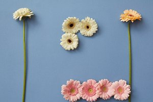 Composition of different colors of gerberas isolated on a blue paper background,