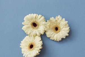 A minimalistic composition of white gerberas isolated on a blue paper background,