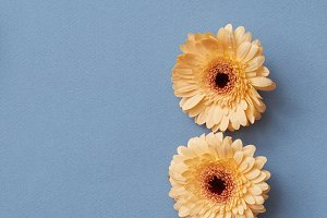 Three bright orange gerbera flowers isolated on a blue paper background,. Blooming concept.