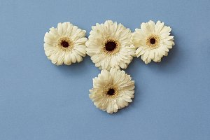 White gerbera flowers on a blue paper background.