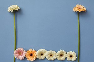 Different gerbera flowers on a blue paper background