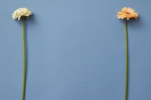 Orange and white gerbera isolated on a blue paper background.
