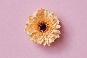 Orange gerbera flower on a pink background. Spring concept