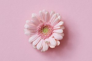 Pink gerbera flower on a pink background. Flower concept