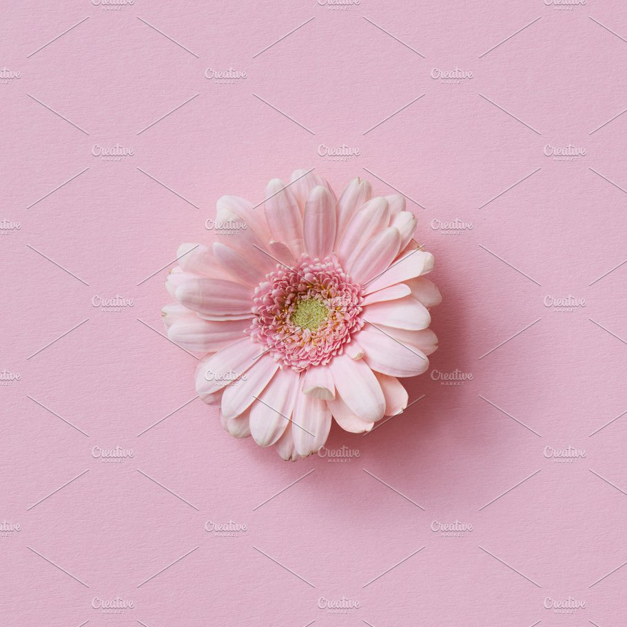 Pink Gerbera Flower On A Pink Background Flower Concept Nature
