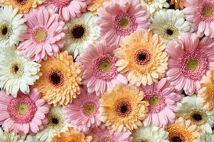 Floral background from different gerbera flowers. Spring concept