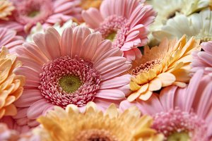 floral natural background of gerbera flowers. Spring concept