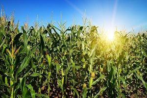 Ripe corn stalks on the field.