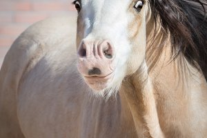 Funny portrait of dun Welsh pony