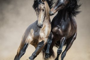 Two Spanish stallions playing