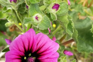 Wild hollyhock and blossoms