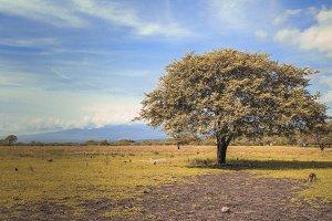 Sabana Tree