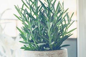 Blue Chalksticks in pot at window