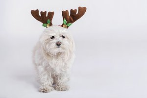 dog with Christmas horns
