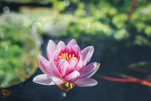 Beautiful pink buds of a lotus