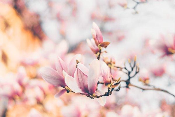 Magnolia flowers in morning light