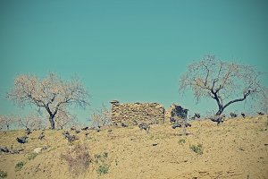 ruined farmhouse between vineyards and almond blossom