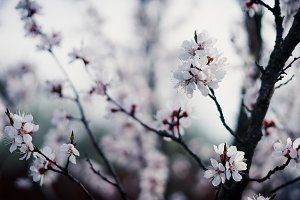 Twigs with peach flower blossom