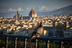 Pigeon with Florence's dome