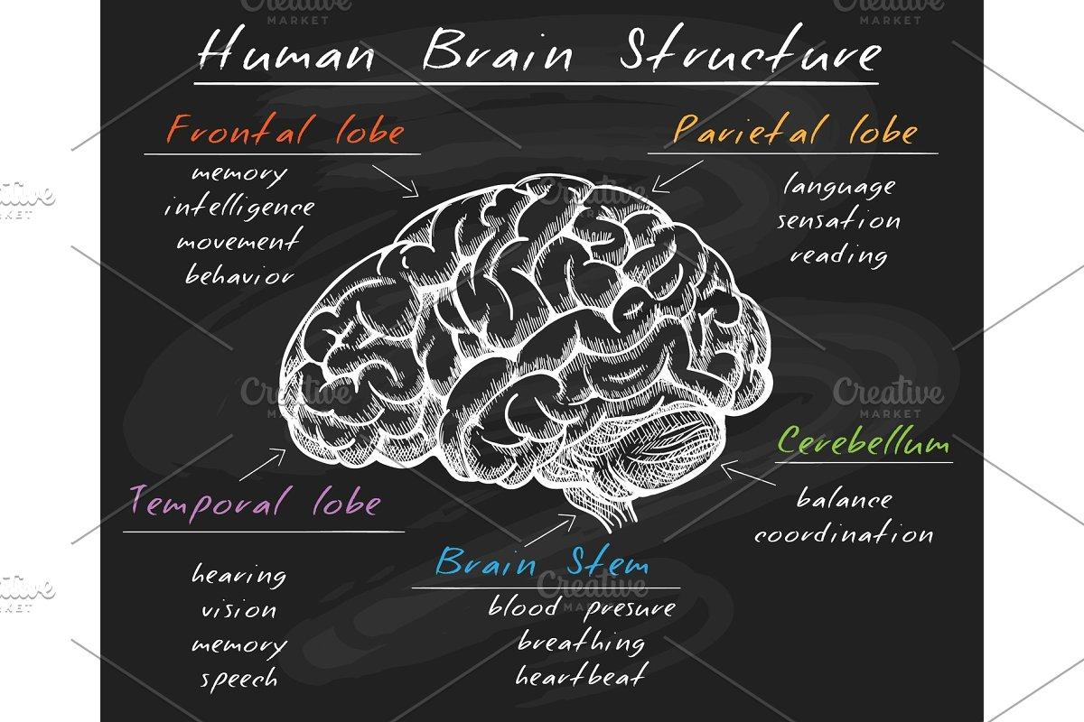 Biology human brain structure on chalkboard | Custom ...