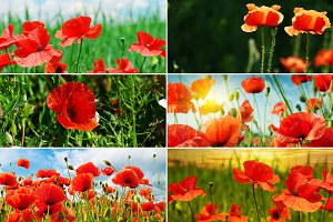 blossoming red poppies