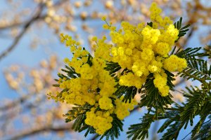 Mimosa tree branch