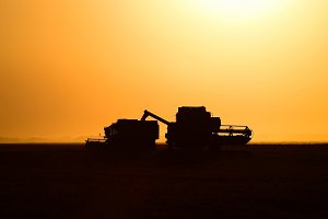 Harvesting by combines at sunset.