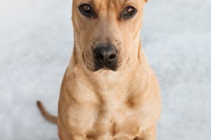 Golden Pitbull Mix Dog