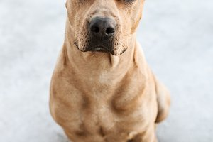 Portrait Of Brown Pitbull