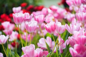 beautiful pink tulip flower.