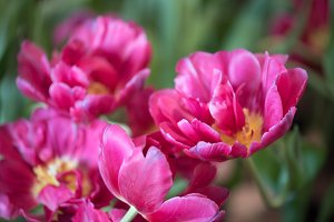 beautiful violet tulip flower.