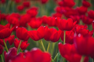 beautiful red tulip flower.