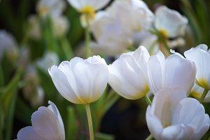 beautiful white tulip flower.