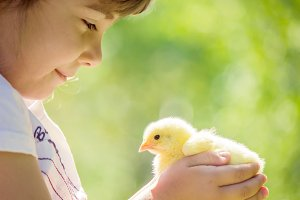 chicken in the hands of a child