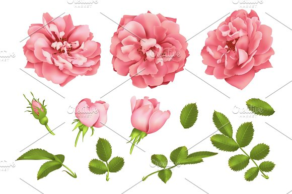 Realistic Vector Pink Rose Set 3D Roses