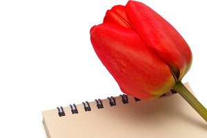 red tulip with paper notepad